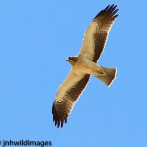 EAGLE, BOOTED