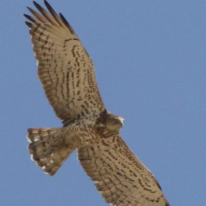 EAGLE, SHORT - TOED