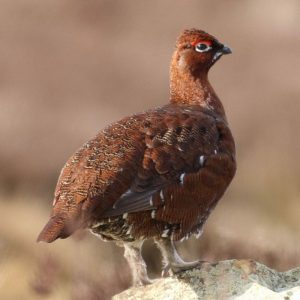 GROUSE, RED