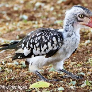 HORNBILL, SOUTHERN RED BILLED