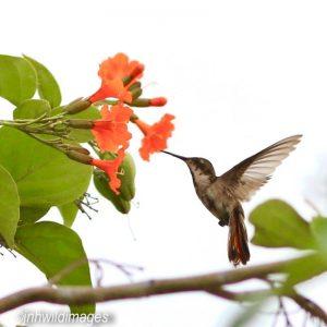HUMMINGBIRD, RUBY TOPAZ