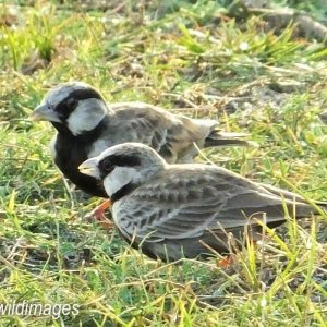 LARK, ASHY CROWNED SPARROW