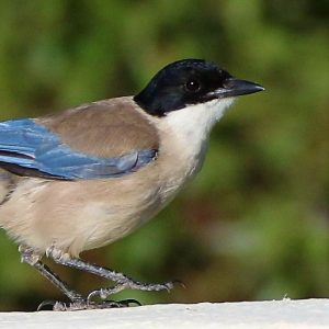 MAGPIE, AZURE WINGED