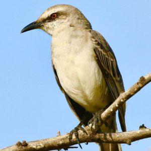 MOCKINGBIRD, TROPICAL