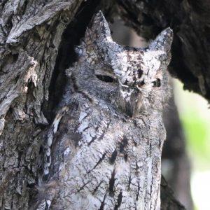 OWL, AFRICAN SCOPS