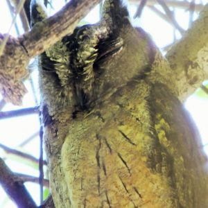 OWL, COLLARED SCOPS