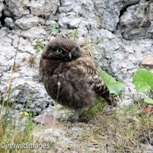 OWL, LITTLE