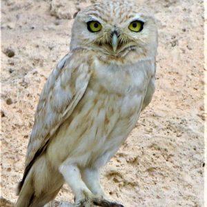 OWL, LITTLE Lillith