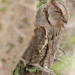 OWL, SCOPS