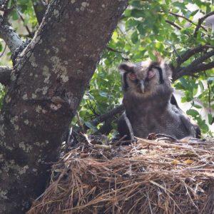 OWL, VERRAUX'S EAGLE