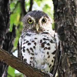 OWLET, PEARL SPOTTED
