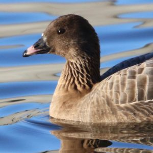 GOOSE,PINKFOOTED
