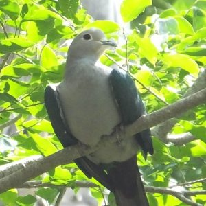 PIGEON, GREEN IMPERIAL