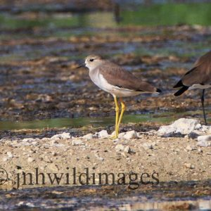 PLOVER, SPUR WINGED
