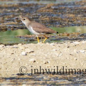 PLOVER, WHITETAILED
