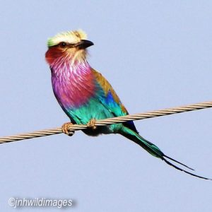 ROLLER, LILAC BREASTED