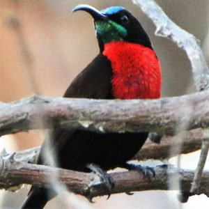 SUNBIRD, SCARLET CHESTED