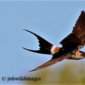 SWALLOW, RED -RUMPED