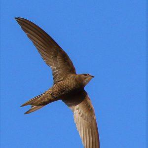 SWIFT, PALLID