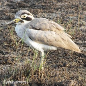 THICK KNEE, GREATER