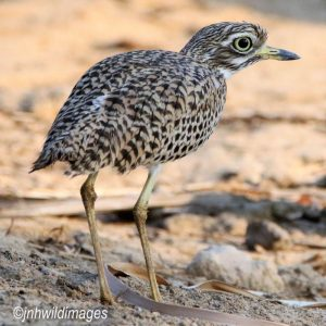 THICK KNEE, SPOTTED