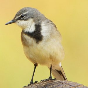 WAGTAIL, CAPE
