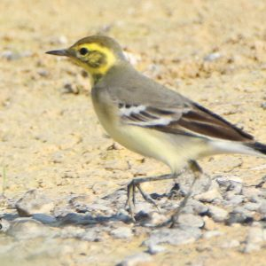 WAGTAIL, CITRINE