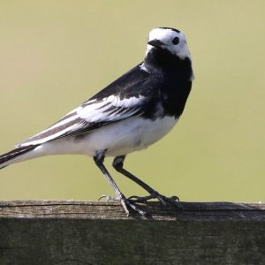 WAGTAIL, PIED