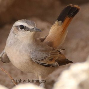 WHEATEAR, RED-TAILED
