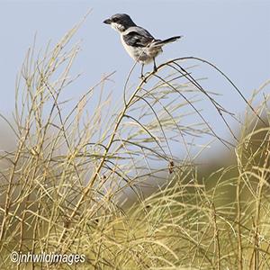 SHRIKE, SOUTHERN GREY meridionalis