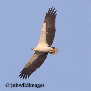 EAGLE,  WHITE BELLIED SEA